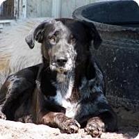 Labrador Retriever/Australian Cattle Dog Mix Dog for adoption in Quinlan, Texas - Cosmo