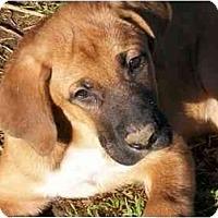 Adopt A Pet :: Whiskey - Albany, NY