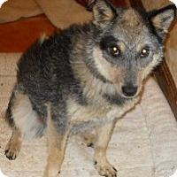 Adopt A Pet :: Amber - dewey, AZ