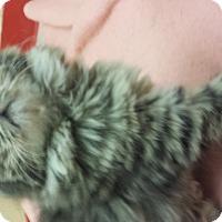 Adopt A Pet :: Steven Tyler - Richboro, PA