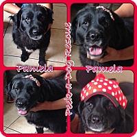 Adopt A Pet :: Pamela - South Gate, CA