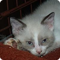 Adopt A Pet :: BANDET - Acme, PA