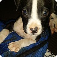Adopt A Pet :: Smalls - San Diego, CA