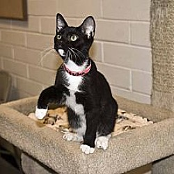 Photo 3 - Domestic Shorthair Cat for adoption in New Port Richey, Florida - Magellan