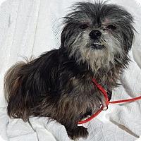 Adopt A Pet :: Bella(7 lb) New Pics & Video - Sussex, NJ