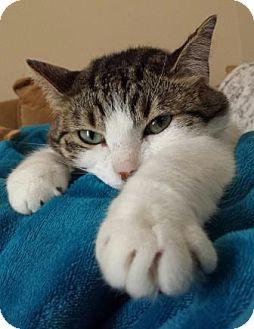 Domestic Shorthair Cat for adoption in San Clemente, California - Dottie