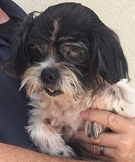 Shih Tzu Dog for adoption in Mount Pleasant, South Carolina - Denise