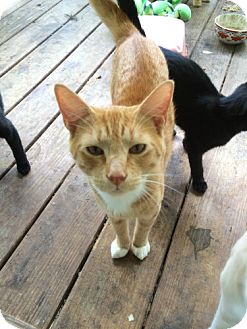 Domestic Shorthair Cat for adoption in Corinth, New York - Bootsie