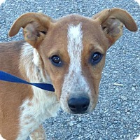 Adopt A Pet :: Biscuit - Hagerstown, MD