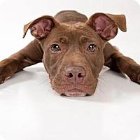 Labrador Retriever/Terrier (Unknown Type, Medium) Mix Dog for adoption in Sanford, North Carolina - Dixie