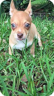 Dachshund Mix Puppy for adoption in Weston, Florida - Siren