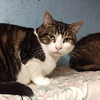 Domestic Shorthair Cat for adoption in Brainardsville, New York - Benny