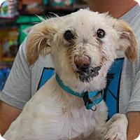 Adopt A Pet :: Zivka - Brooklyn, NY