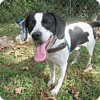 Border Collie/Cattle Dog Mix Dog for adoption in Horseshoe Bend, Arkansas - RODEO - Adopt/Foster