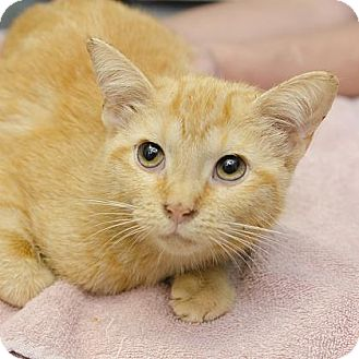 Domestic Shorthair Cat for adoption in Adrian, Michigan - Charlize