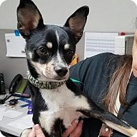 Adopt A Pet :: Santino - Goodyear, AZ