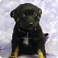 Adopt A Pet :: EBBIE - Westminster, CO