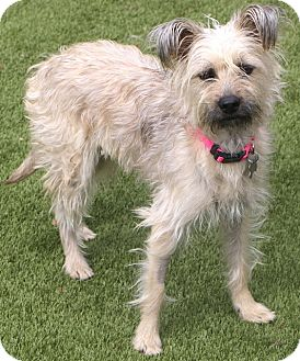 Terrier (Unknown Type, Small) Mix Dog for adoption in Bedminster, New Jersey - Lemon Drop - MEET ME