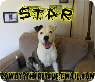 American Bulldog/Labrador Retriever Mix Dog for adoption in Columbia Station, Ohio - Star
