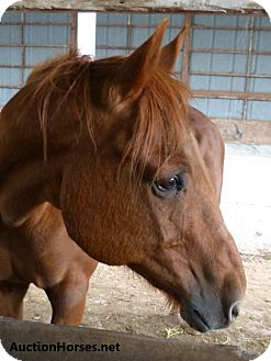 Thoroughbred Mix for adoption in Lakebay, Washington - Boyd