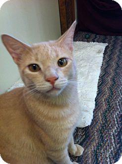 Domestic Shorthair Cat for adoption in Phoenix, Arizona - Buff