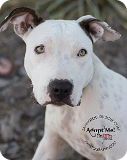 American Staffordshire Terrier Mix Dog for adoption in Scottsdale, Arizona - Henry