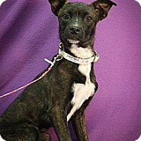 Adopt A Pet :: Constance - Broomfield, CO