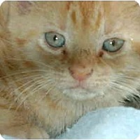 Adopt A Pet :: orange girl - Etobicoke, ON