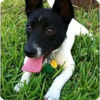 Adopt A Pet :: Corkey in Houston - Houston, TX