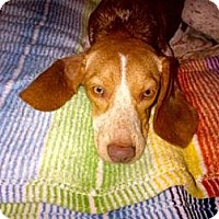 Adopt A Pet :: Rowan - Phoenix, AZ