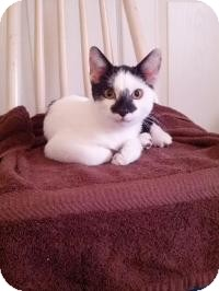 Domestic Shorthair Cat for adoption in Tampa, Florida - Donnie