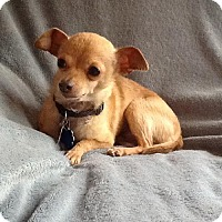 Chihuahua Dog for adoption in Providence, Rhode Island - Peanut in RI