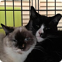 Siamese Cat for adoption in Ellicott City, Maryland - .Chrissy and Meeshka