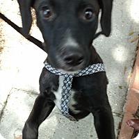 Adopt A Pet :: Raven - Tampa, FL