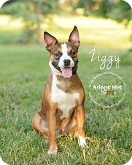 Terrier (Unknown Type, Medium) Mix Dog for adoption in Topeka, Kansas - Ziggy