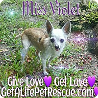 Adopt A Pet :: Miss Violet - Wellington, FL