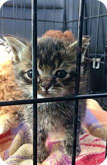 Domestic Shorthair Kitten for adoption in Northeast, Ohio - Hattie