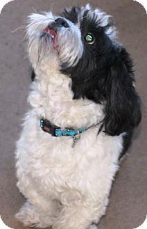Shih Tzu Dog for adoption in Solebury, Pennsylvania - Steinway