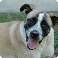 Akita/Labrador Retriever Mix Dog for adoption in West Springfield, Massachusetts - Max