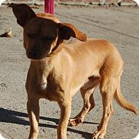 Adopt A Pet :: Boomer - Brooklyn, NY