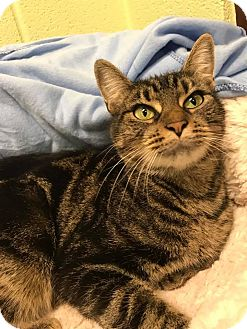 Domestic Shorthair Cat for adoption in Shinnston, West Virginia - Lily