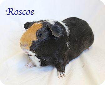 Guinea Pig for adoption in Bradenton, Florida - Roscoe