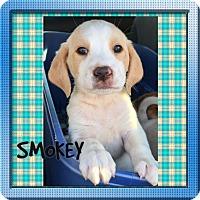 Adopt A Pet :: BANDIT - HAGGERSTOWN, MD