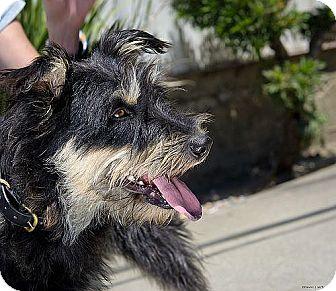 Miniature Schnauzer Cairn Terrier Mix