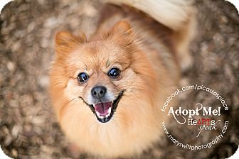 Pomeranian Dog for adoption in Myersville, Maryland - Billy
