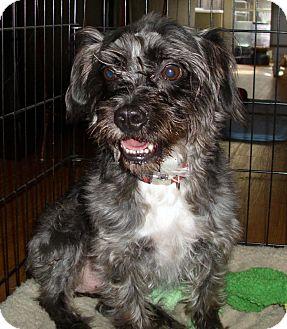 Schnauzer (Miniature)/Shih Tzu Mix Dog for adoption in Vista, California - Pumpkin