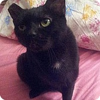 Adopt A Pet :: Miss Midnight - Columbus, OH