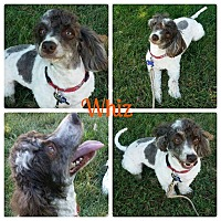 Adopt A Pet :: Whiz - Garden City, MI