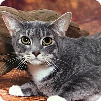 Adopt A Pet :: Dapple - Seminole, FL