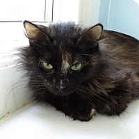 Domestic Longhair Cat for adoption in Port Clinton, Ohio - Abby